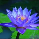 blue-lotus-300x212