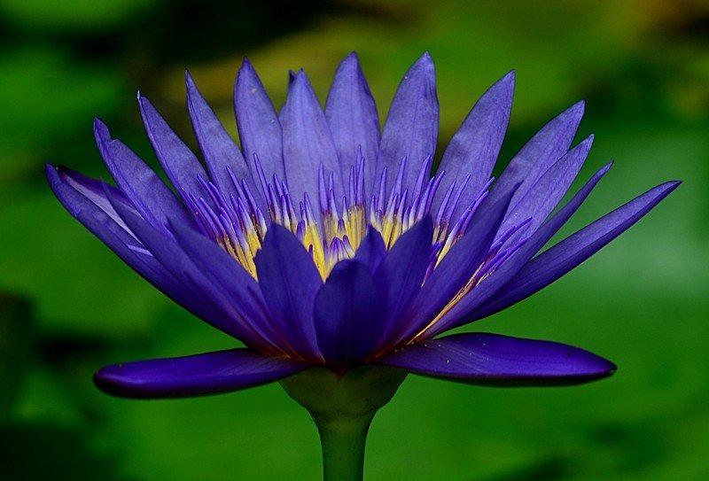 Blue lotus naturalether mightylinksfo