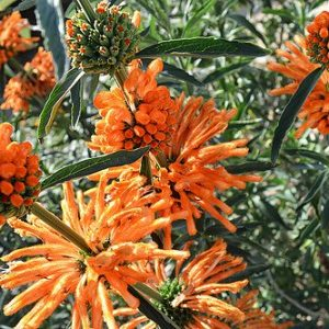 wild dagga plant 2