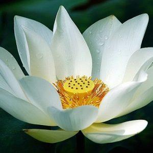 white_lotus e-liquid