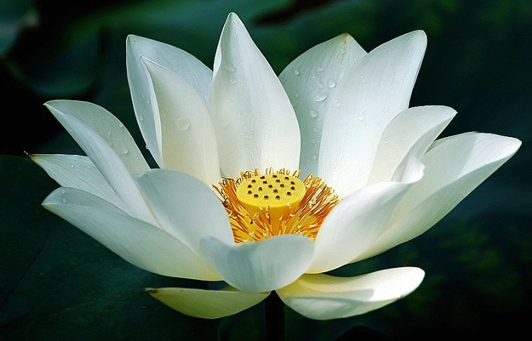white lotus  naturalether, Natural flower