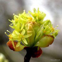 Sassafras Albidum plant