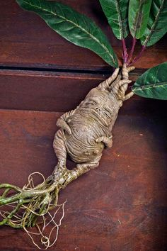 The Mandrake Plant Magic Naturalether Llc
