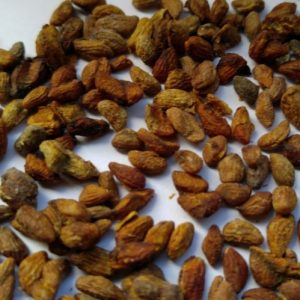 Voacanga Seeds (Voacanga Africana)