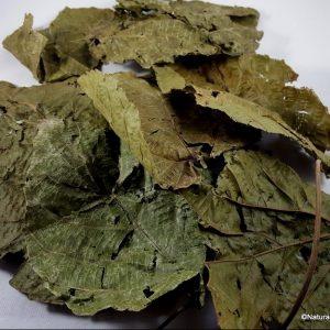 Alchornea cordifolia